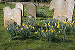 Spring daffodils in country churchyard, Middleton, Suffolk, England