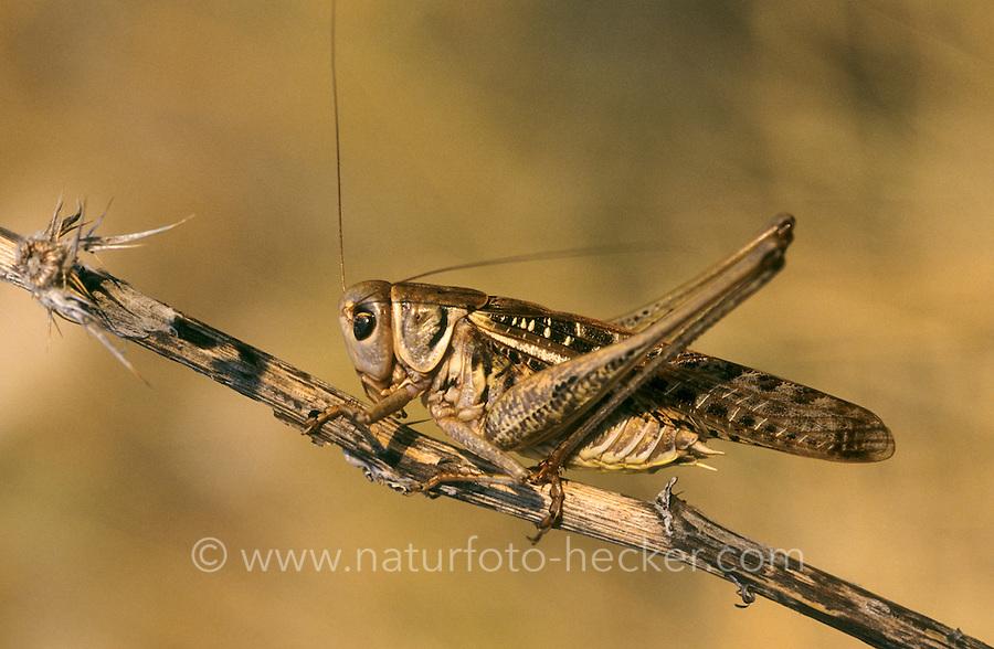 Warzenbeißer, Warzenbeisser, Männchen, Decticus verrucivorus, wart-biter, wart-biter bushcricket, male