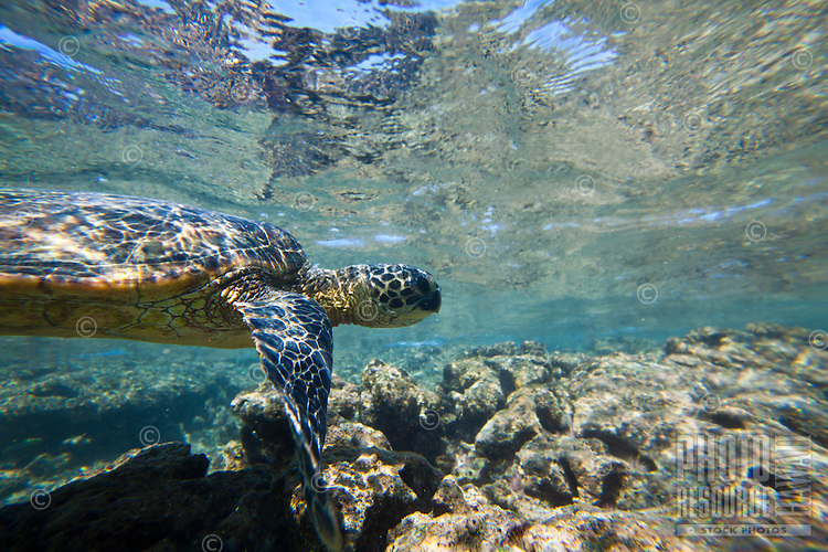 A green sea turtle or honu near Puuhonua o Honaunau, or the City of Refuge, near Kealakekua Bay, Big Island