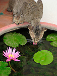 Cat and Water Lily