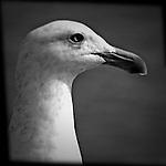 Gull in profile, Seal Beach, CA.
