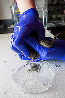 "Senior Research Technician Erin Switzer collects eggs from frogs in the frog room of Dr. Michael Levin's lab at the Tufts Center for Regenerative and Developmental Biology in the Department of Biology at Tufts University in Medford, Massachusetts, USA. Levin's research focuses on the way that animal cells communicate with one another during embryonic development and cell and tissue regeneration. Levin's lab currently uses frogs and freshwater planaria worms for research. Switzer calls the technique for collecting eggs from the frogs ""hugging."""