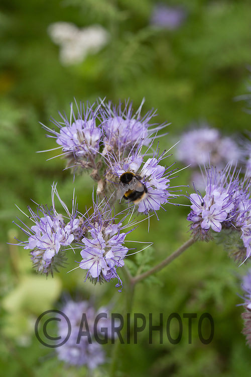 Bees on Phacelia <br /> Picture Tim Scrivener Photographer<br /> mobile 07850 303986 <br /> ....covering agriculture in the Uk....