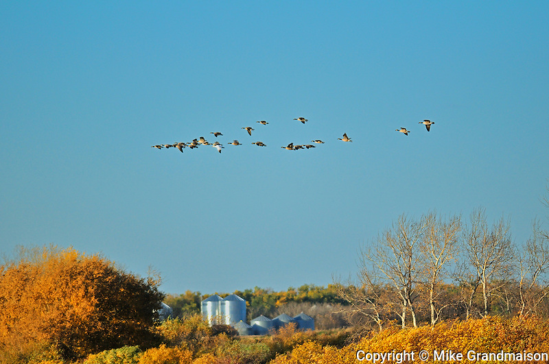 Canada geese and grain bins in autumn<br /> Tuxford<br /> Saskatchewan<br /> Canada
