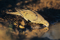 Mourning Dove, Zenaida macroura,adult drinking, Lake Corpus Christi, Texas, USA, May 2003