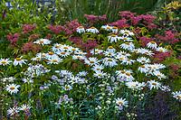 Leucanthemum x superbum, Shasta Daisy, (aka Chrysanthemum x superbum) white flowering perennial in Soest Herbaceous Display Garden, University of Washington Botanic Garden, Center for Urban Horticulture, Seattle