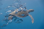 Santa Fe Island, Galapagos, Ecuador; Steel Pompano (Trachinotus stilbe) fish clean parasites off the shell of a passing Green Sea Turtle (Chelonia mydas) , Copyright © Matthew Meier, matthewmeierphoto.com All Rights Reserved