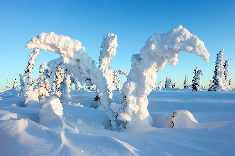 Wind-blown snow and hoar frost cling to spruce trees on Tolovana Hot Springs dome, north of Fairbanks, in Alaska's interior.