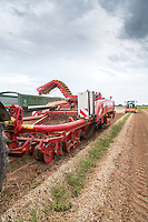 Harvesting daffodil bulbs - Lincolnshire, June