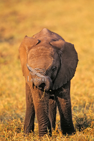 Young african elephant calf (Loxodonta africana).  Matusadona National Park, Zimbabwe.  It takes about a year for a calf to develop control of its trunk.