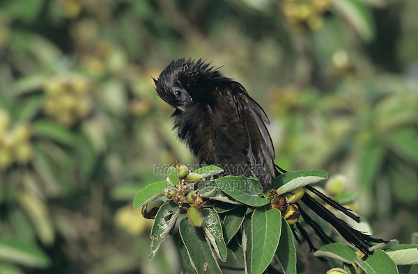 Groove-billed Ani, Crotophaga sulcirostris, adult preening on Mexican Olive Tree, The Inn at Chachalaca Bend, Cameron County, Rio Grande Valley, Texas, USA, May 2004