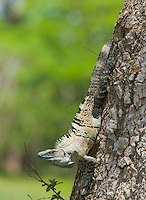 Black spiny-tailed iguana, Ctenosaura similis, in a tree on the shore of the Tarcoles River, Costa Rica