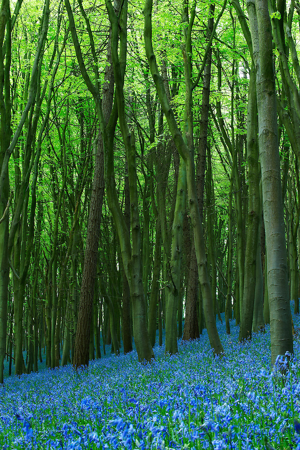 An additional shot of Bluebell Wood by Bristol Photographer Jonathan Bowcott