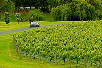 Vineyards, Villa Maria Estate Winery, Mangere, near Auckland, North Island, New Zealand