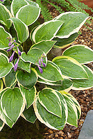 Hosta 'Rise and Shine' in flower with water drops on plant leaves