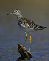 Lesser Yellowlegs standing on a semi-submerged log