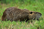 Coypu, Myocaster coypa, feeding on grass, Camargue, Southern France.France....