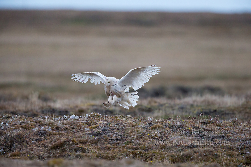A Snowy Owl arrives at the nest to care for her six nestlings.