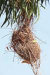 Sakalava Weaver Nest, Ploceus sakalava, Berenty National Park, Madagascar