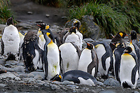 I'm peeling, can you help me? - King penguins Macquarie Island