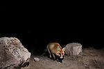 Red Fox (Vulpes vulpes) at night, Sarychat-Ertash Strict Nature Reserve, Tien Shan Mountains, eastern Kyrgyzstan