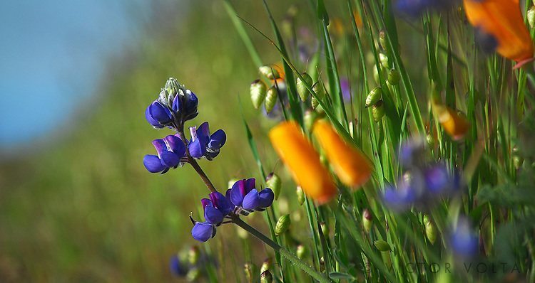 Poppies & Lupines - Mt. Tamalpais State Park