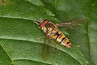Hain-Schwebfliege, Gemeine Winterschwebfliege, Winter-Schwebfliege, Hainschwebfliege, Hain - Schwebfliege, Parkschwebfliege, Episyrphus balteatus, marmalade hoverfly