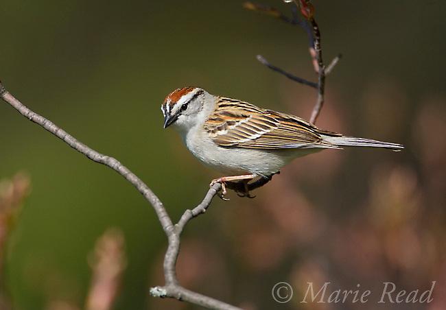 Chipping Sparrow (Spizella passerina) Ithaca, New York, USA