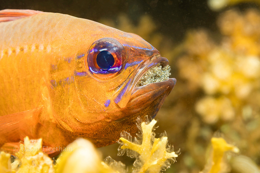 This male ring-tailed cardinalfish, Ostorhinchus aureus, is protecting and incubating its eggs by carrying them in his mouth, Philippines.