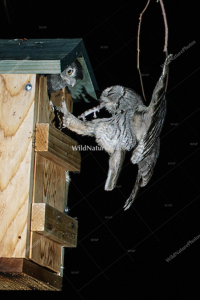 A Western Screech Owl (Megascops kennicottii) arrives at a nest box carrying prey item;  a Banded Gecko (Coleonyx variegatus). Tucson, Arizona