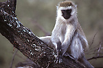 Perched Monkey