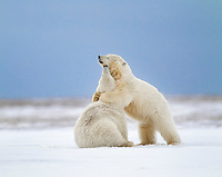 Two polar bear play fight in the snow on a barrier island in the Arctic National Wildlife refuge of Alaska.