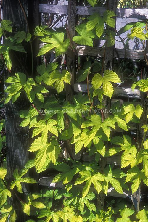 Humulus lupulus aureus Golden Hops vine climbing a wooden trellis