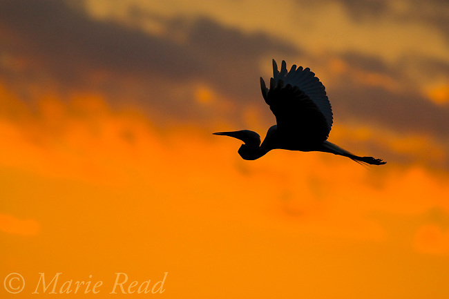 Great Egret (Ardea alba) silouette in flight at sunset, Orlando, Florida, USA