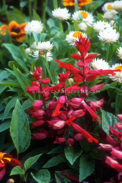 Salvia splendens (deep red) in flower in front of Helichrysum strawflowers, annuals in bloom in plant combination in garden. Both are great cut flowers. GR11596