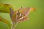 Duke of Burgundy Butterfly, Hamearis lucina, Bonsai Bank, Denge Woods, Kent UK, Small and orange and brown, like a tiny fritillary, endangered