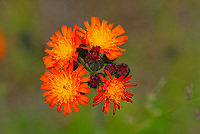 Orange Hawkweed or devil's paintbrush (Hieracium aurantiacum) blossoms<br />