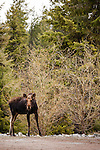 A young bull moose without antlers stares at the viewer at the edge of a driveway in Bonner County, Idaho.