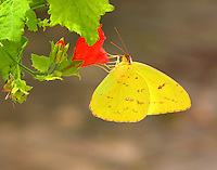 Orange-barred sulphur on turk's cap