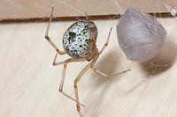 Common House Spider;  Achaearanea; with egg sac;  NY, Ithaca