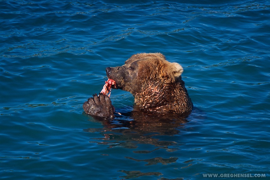 A large male Brown Bear scarred from previous fights with other Bears feeds on Salmon at the base of McNeil Falls. Summer at McNeil River Bear Sanctuary in Southwest Alaska.