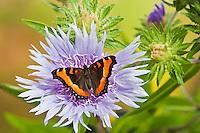 Milbert's Tortoiseshell butterfly (Nymphalis milberti) on Stoke's aster (Stokesia laevis) flower, summer, North America.