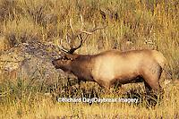 01980-00207 Elk or Wapiti (Cervus elaphus) bull    WY