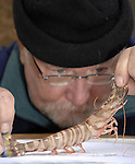 JAPANESE TIGER PRAWN - Department of Marine Officer Kevin Flannery observes the first ever Japanese Tiger Prawn recorded in Irish Waters. The shellfish was caught off Union Hall in County Cork by local fishermen.<br /> The giant tiger prawn, called tiger because of its black and golf stipes,  inhabits the coasts of Australia, South East Asia, South Asia and East Africa.<br /> Picture by Don MacMonagle<br /> Story by Anne Lucey