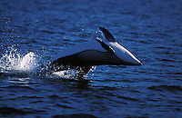 nb123. Pacific White-sided Dolphin (Lagenorhynchus obliquidens) leaping. British Columbia, Canada, Pacific Ocean..Photo Copyright © Brandon Cole.  All rights reserved worldwide.  www.brandoncole.com..This photo is NOT free. It is NOT in the public domain...Rights to reproduction of photograph granted only upon payment of invoice in full.  Any use whatsoever prior to such payment will be considered an infringement of copyright...Brandon Cole.Marine Photography.http://www.brandoncole.com.email: brandoncole@msn.com.4917 N. Boeing Rd..Spokane Valley, WA 99206   USA..tel: 509-535-3489