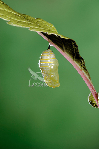 MONARCH BUTTERFLY life cycle..Pupa on Joe-Pye leaf. .North America. Danaus plexippus.