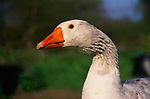 ADD2X0 White Embden English goose head close up
