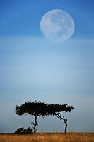Full moon above acacia trees, Masai Mara, Kenya, Africa