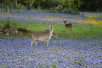 White-tailed deer, Texas