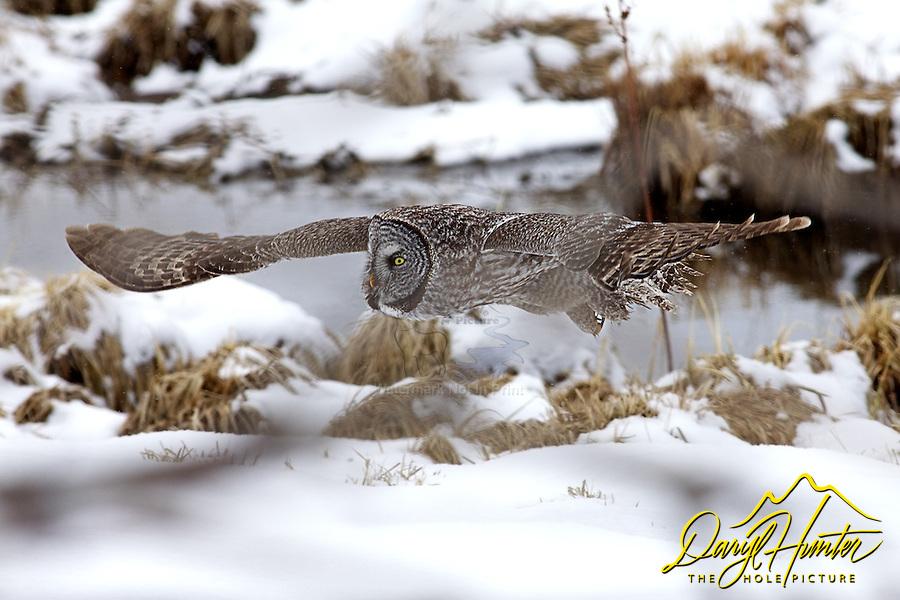 Great Grey Owl, in flight, winter, Jackson Hole, Wyoming